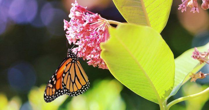 Monarch Butterfly. Image by PopcornSusanN from Pixabay.