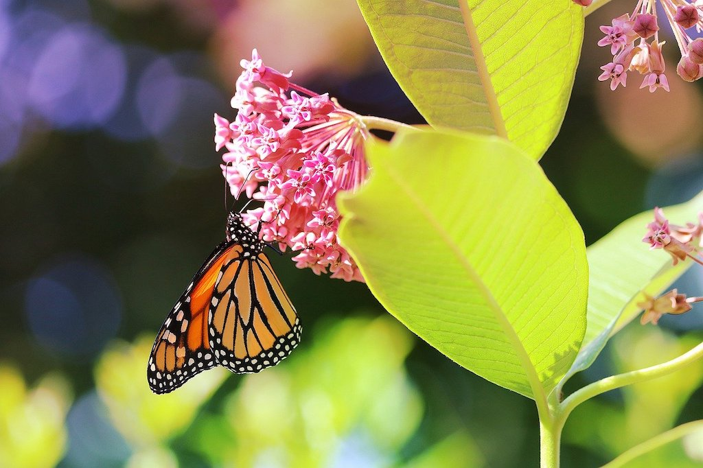 Monarch Butterfly. Image by PopcornSusanN from Pixabay.