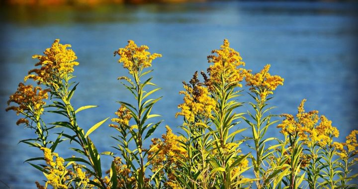 Goldenrod. Image by Mabel Amber from Pixabay.