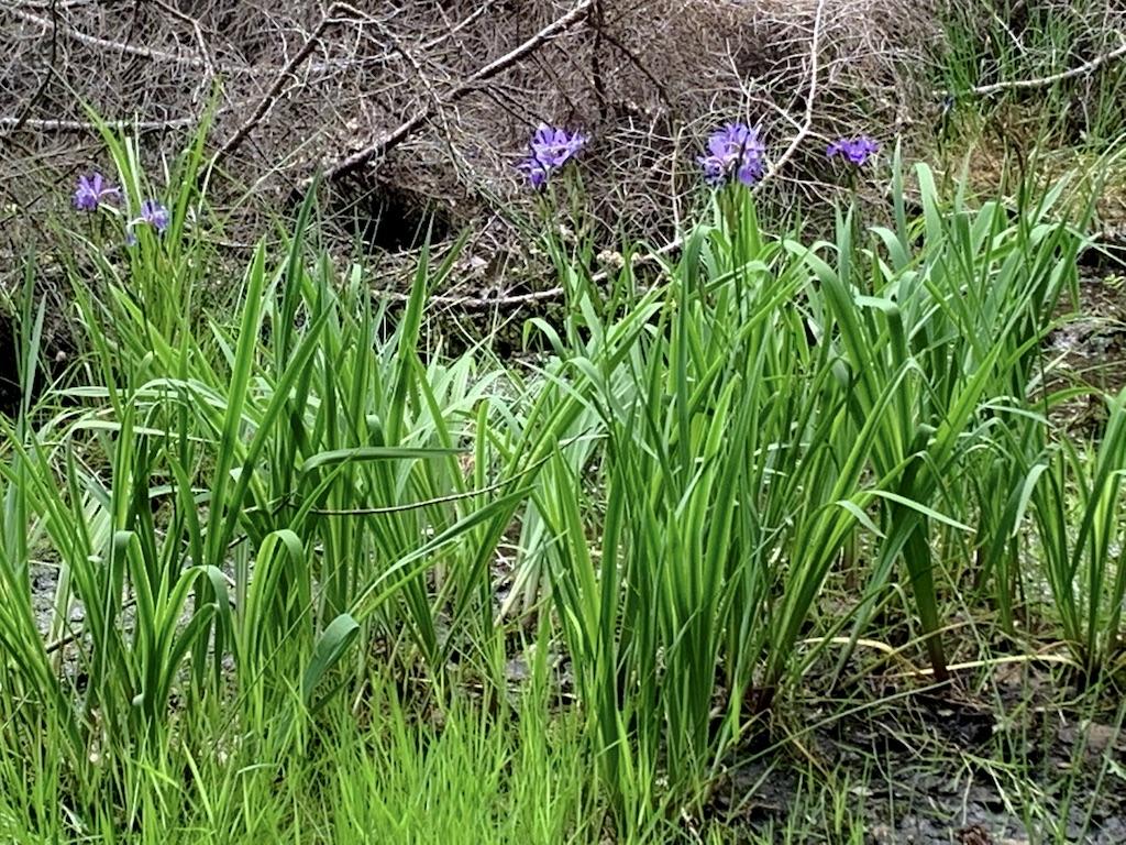 Wild Iris at Echo Pond